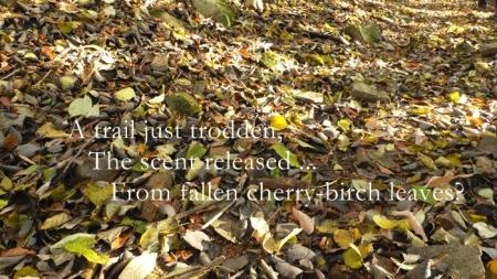 大原オウギ峠でのミズメなどの落ち葉