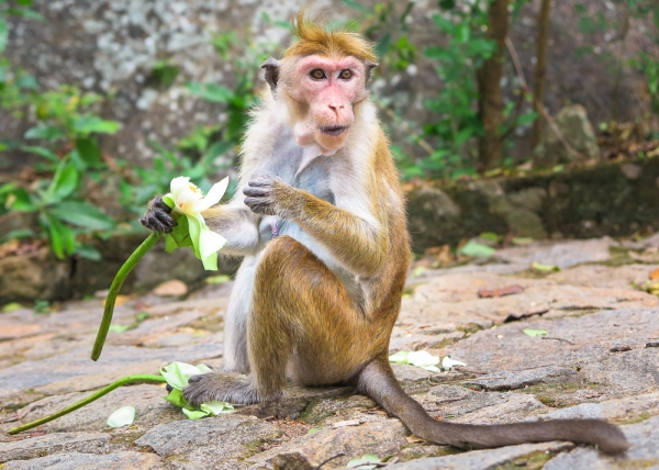 dambulla-monkey